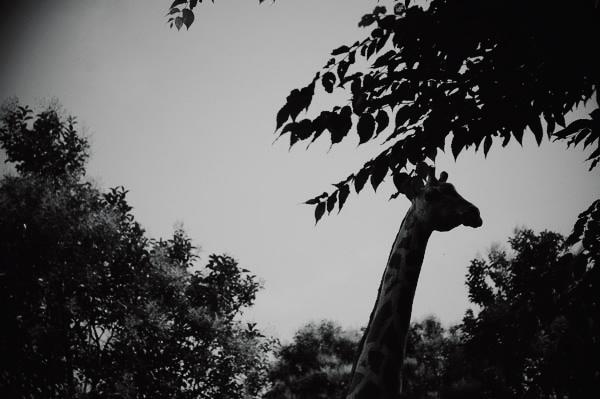 キリン発見