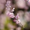 新宿御苑・しだれ桜