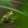 シャガを見に来たのに蛙