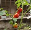 20090815トマト