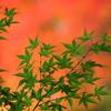 みどりの葉