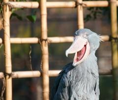上野動物園(ハシビロコウ)