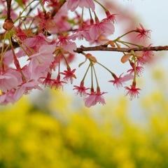 河津桜と菜の花と海