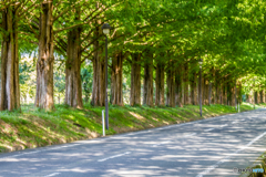 滋賀県 メタセコイア並木