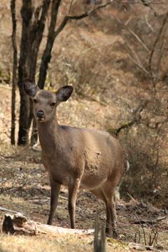 白鳥山で見つけた鹿