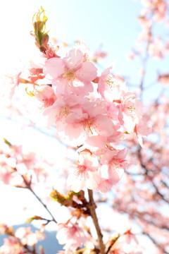 光彩の中の桜