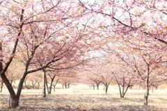 春を呼ぶ桜