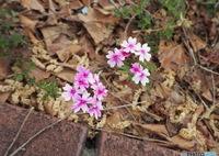 OLYMPUS E-PL7で撮影した(道端に咲く小さな春)の写真(画像)