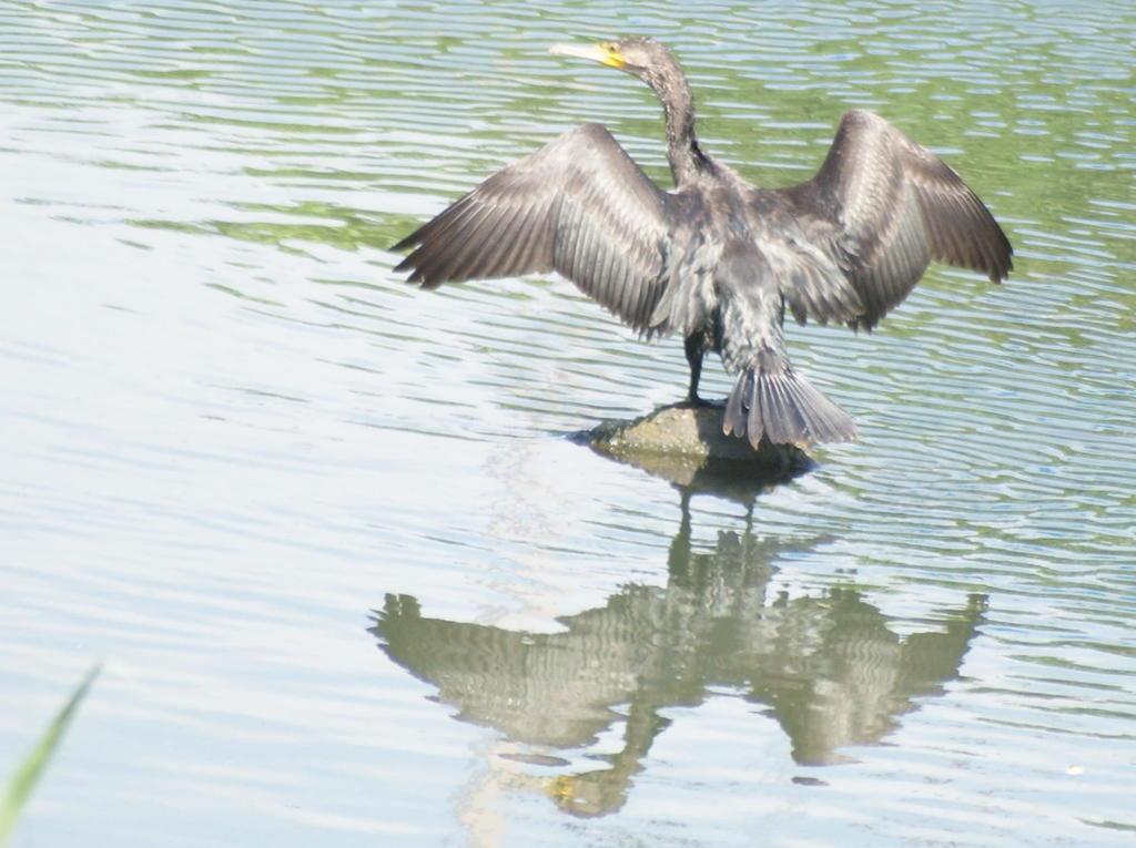川鵜の羽根干し