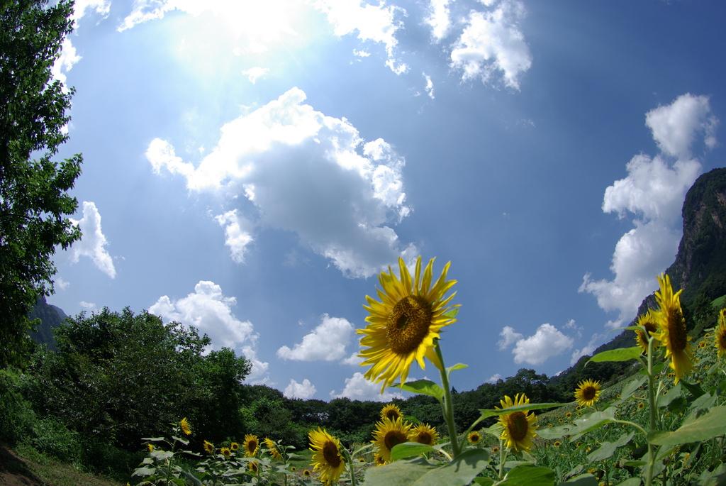 向日葵 5