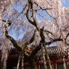 氷室神社-枝垂れ桜2