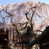 氷室神社-枝垂れ桜4