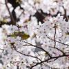 桜とメジロと