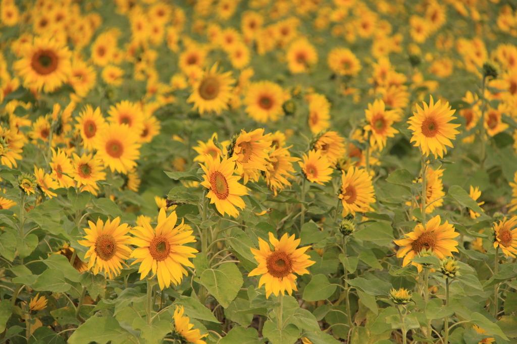 季節外れの向日葵