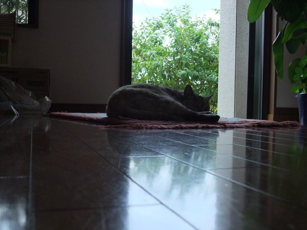 夏 玄関 猫