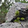 岩から松が・・・