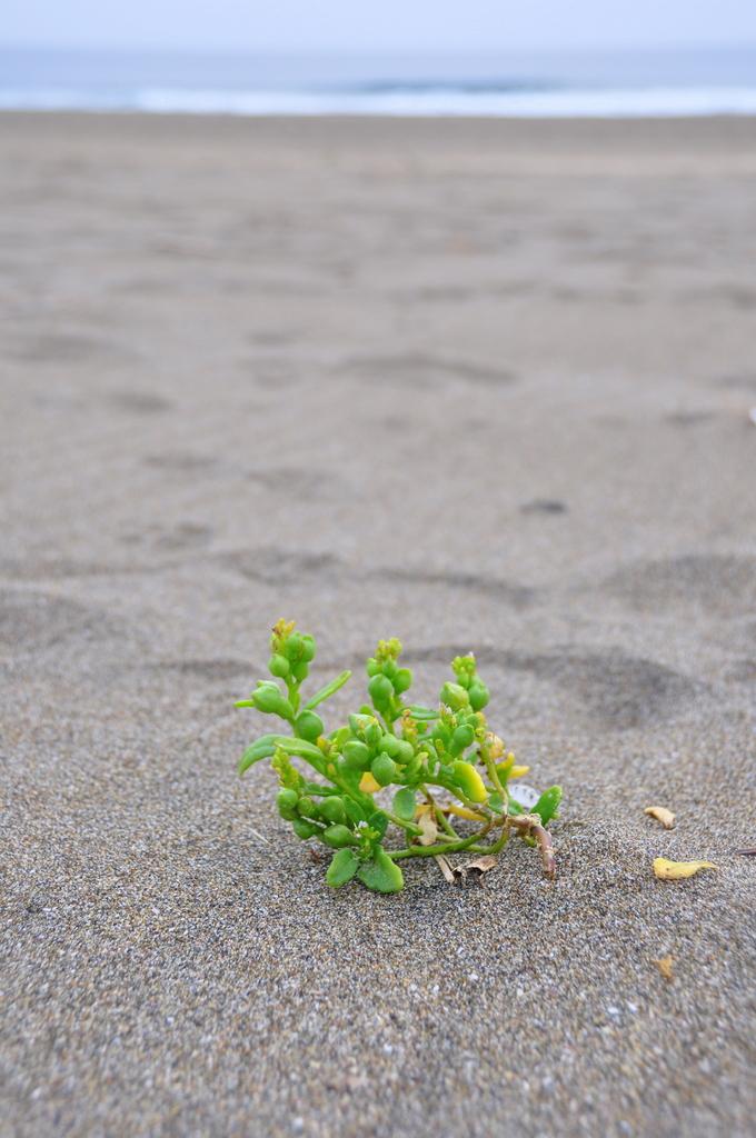 砂浜に咲く花