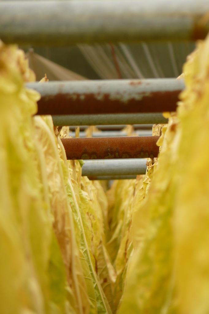タバコの葉、乾燥中②