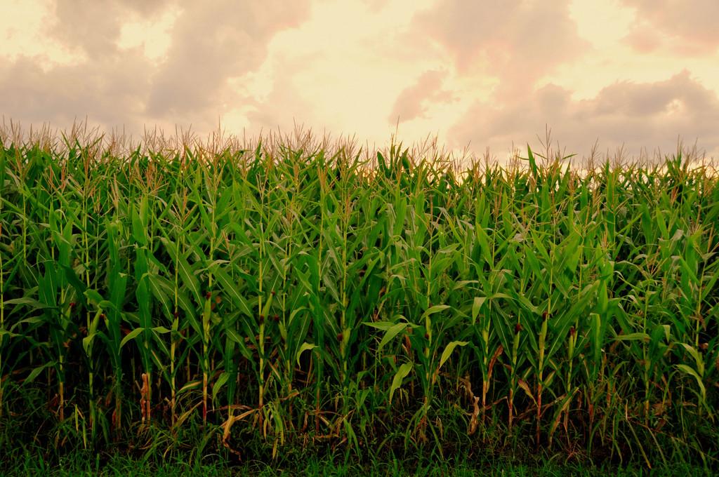 トウモロコシ畑でつかまえて①