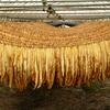 タバコの葉、乾燥中④