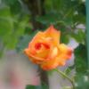 a orange rose2