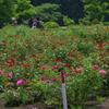 pink rose tree