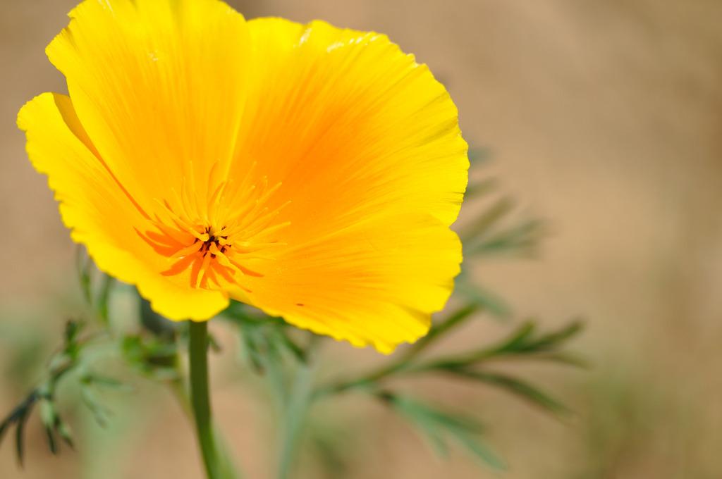 黄色い花の秘密