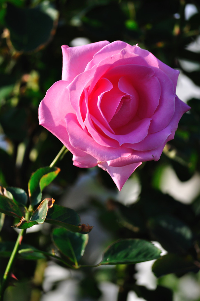 rosy-rose