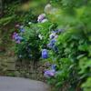 紫陽花小道