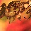 紅葉は楓のみに非ず