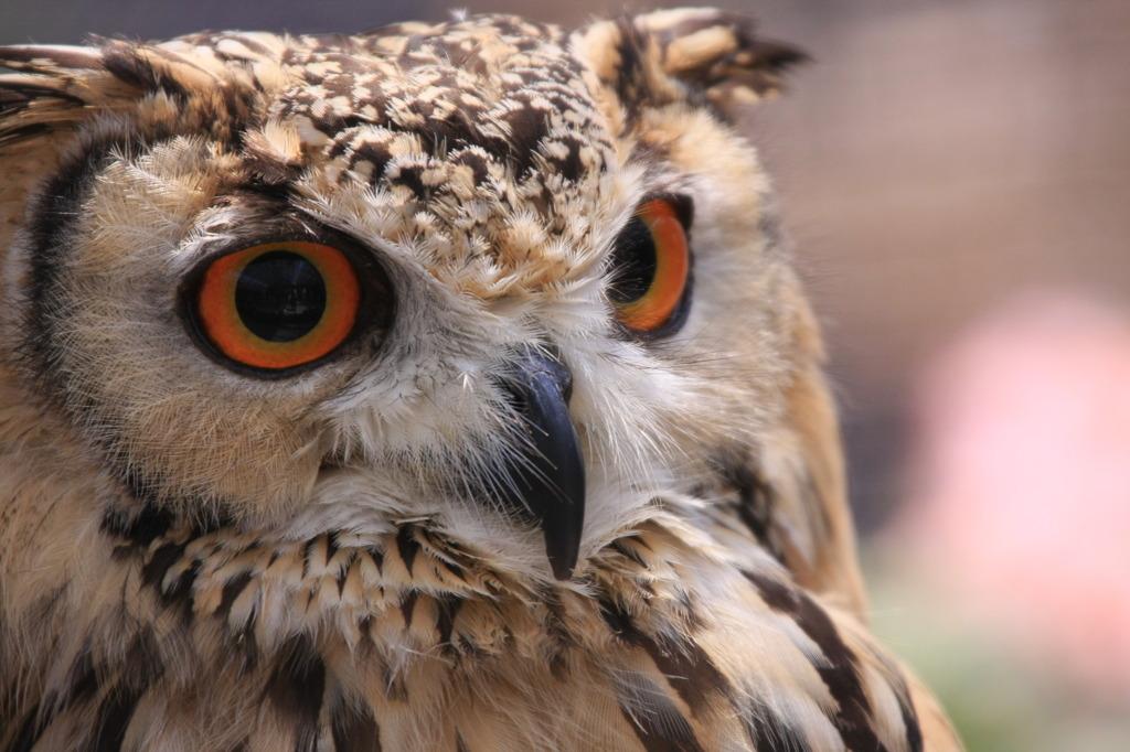 猛禽類は目が命 (^^  闇夜に蠢く小動物のわずかな動きも見逃さない目。 こんなキャッチコピー