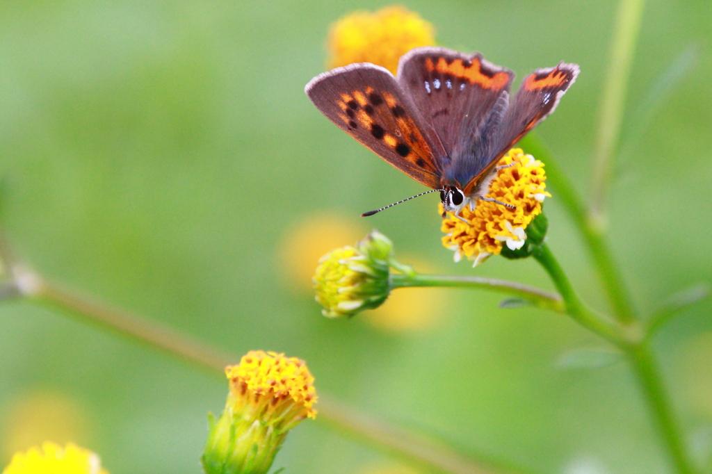 お花を見つめるベニシジミ IMG_4659tr