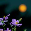 中秋の月とコスモス②