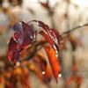 柿の葉と朝露