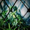 PLANT*