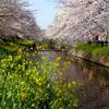 愛知県岩倉市五条川の桜