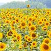 愛知県知多半島「花ひろば」で撮影。全国でも有名です。