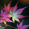 東山植物園 紅葉