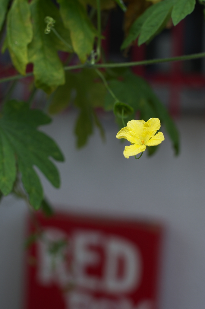A Yellow Flower, RED