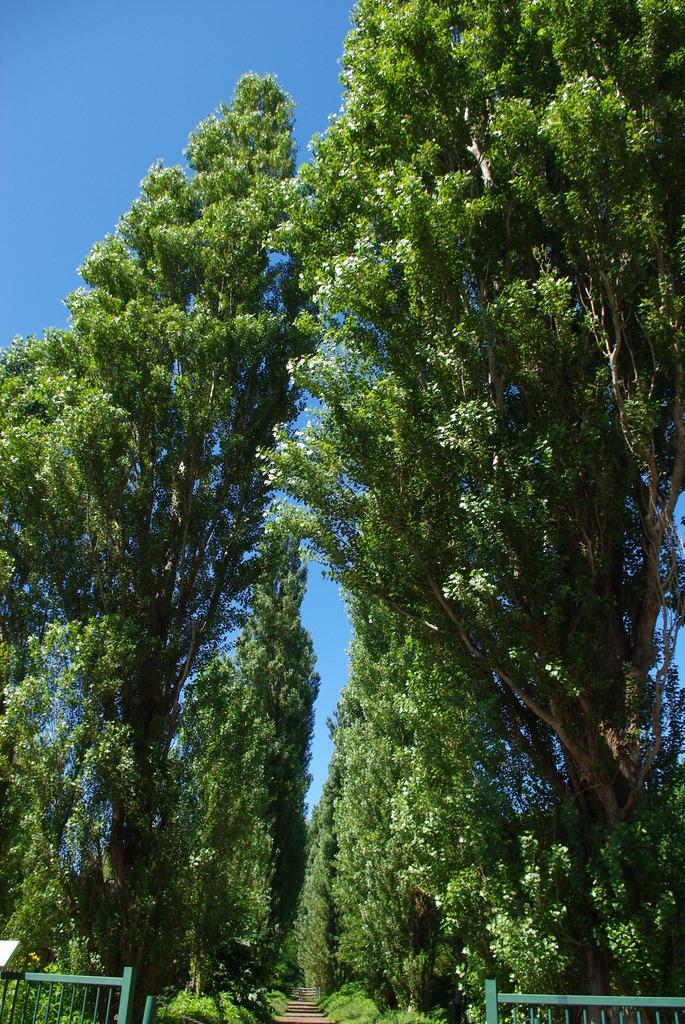 北海道*札幌*北大*ポプラ並木