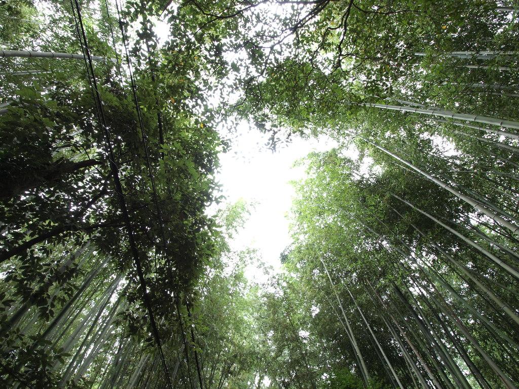 嵐山の竹林 2