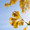 幸せの黄色い葉っぱたち