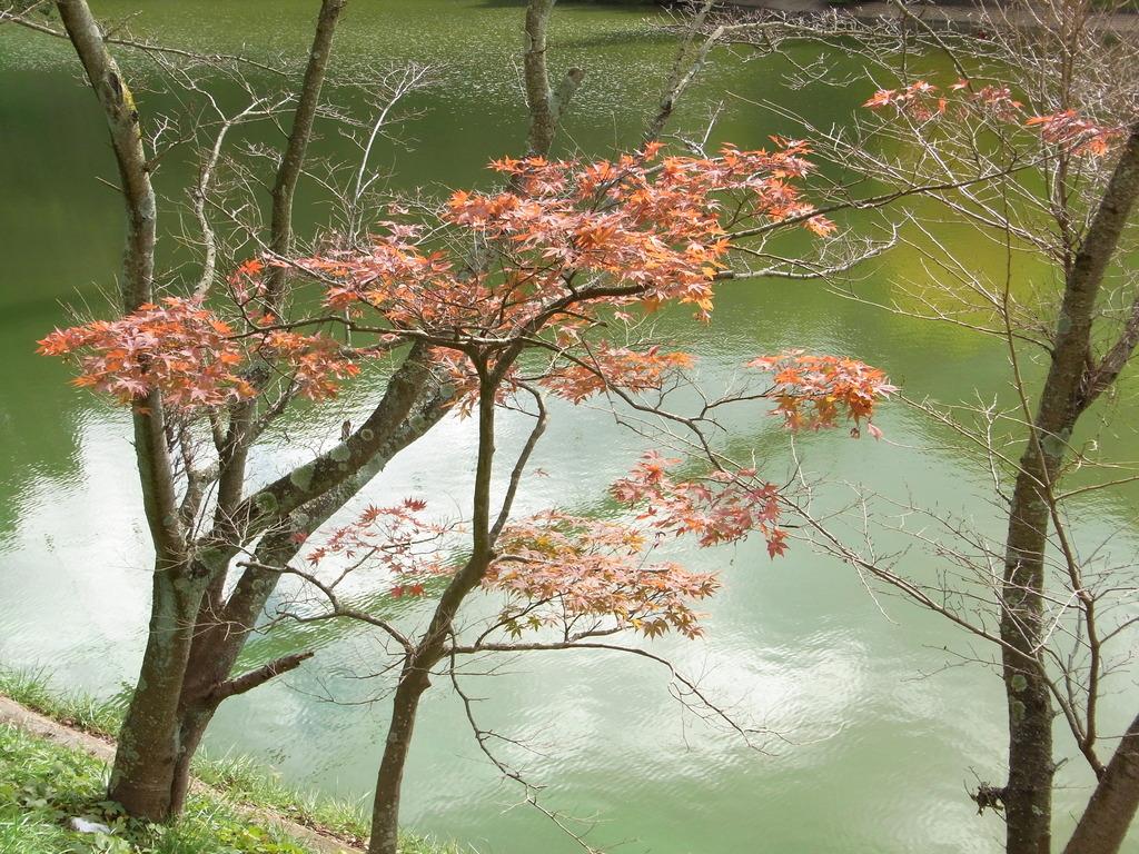 池の畔で色づくもみじ