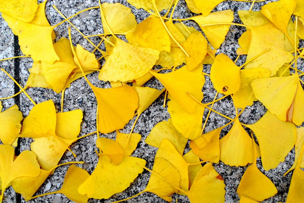 gingko leaves in shinsaibashi