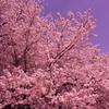 やっと、桜です♪