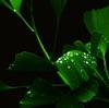 イチョウの緑