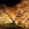 一心行夜桜