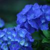 蒼き梅雨花