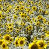 HIMAWARI ~黄色の記憶~