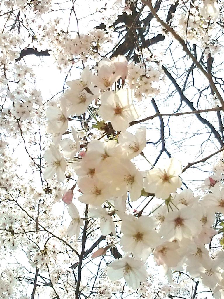 伸びやかに桜咲く^^